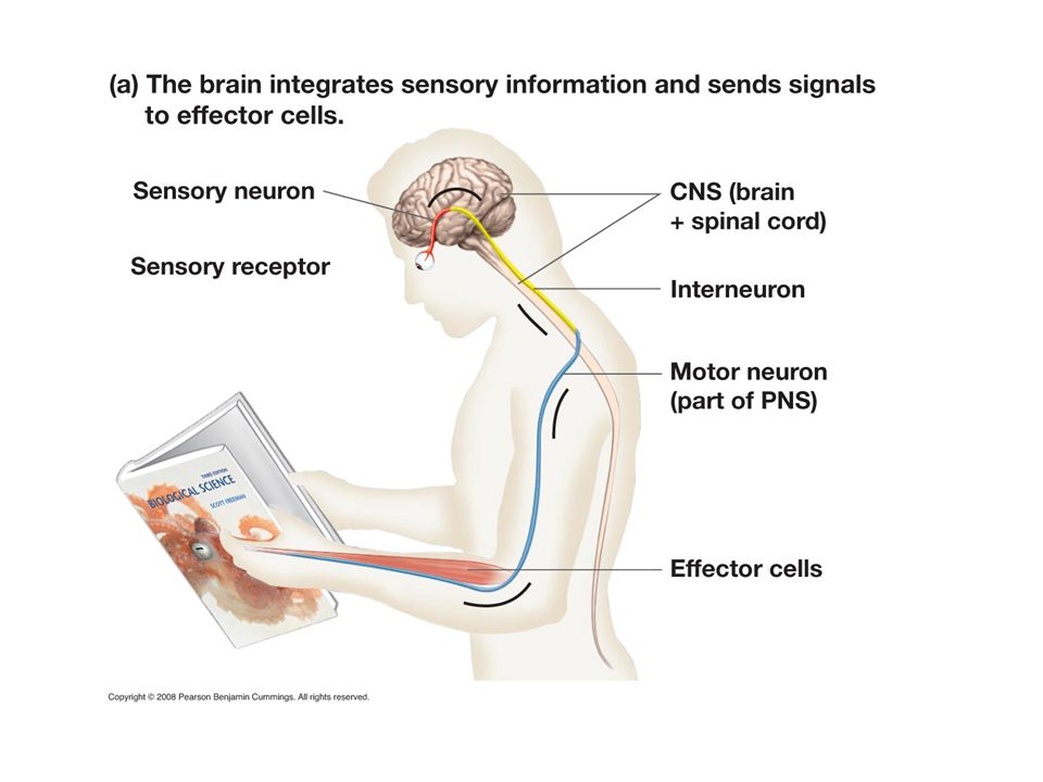 Neurons communicate with each other by electrical impulses.