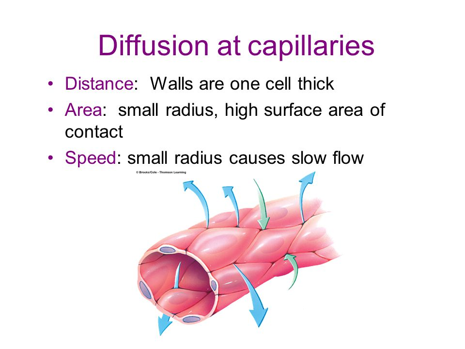 Diffusion at capillaries Distance: Walls are one cell thick Area: small radius, high surface area of contact Speed: small radius causes slow flow