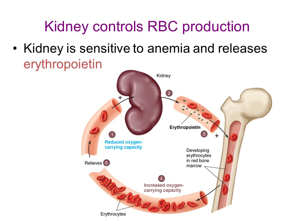 Kidney controls RBC production Kidney is sensitive to anemia and releases erythropoietin