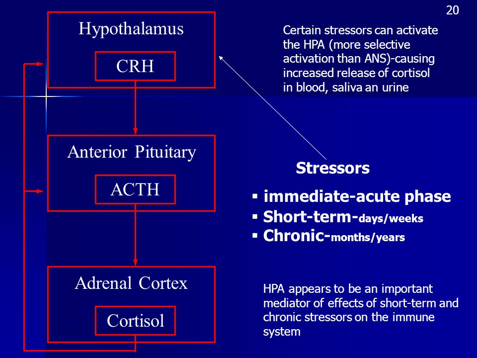Adrenal Cortex Cortisol Anterior Pituitary Hypothalamus CRH ACTH Certain stressors can activate the HPA (more selective activation than ANS)-causing increased release of cortisol in blood, saliva an urine Stressors  immediate-acute phase  Short-term- days/weeks  Chronic- months/years HPA appears to be an important mediator of effects of short-term and chronic stressors on the immune system 20