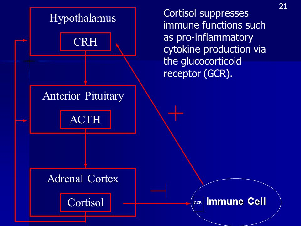 Adrenal Cortex Cortisol Anterior Pituitary Hypothalamus CRH ACTH Immune Cell GCR Cortisol suppresses immune functions such as pro-inflammatory cytokine production via the glucocorticoid receptor (GCR).