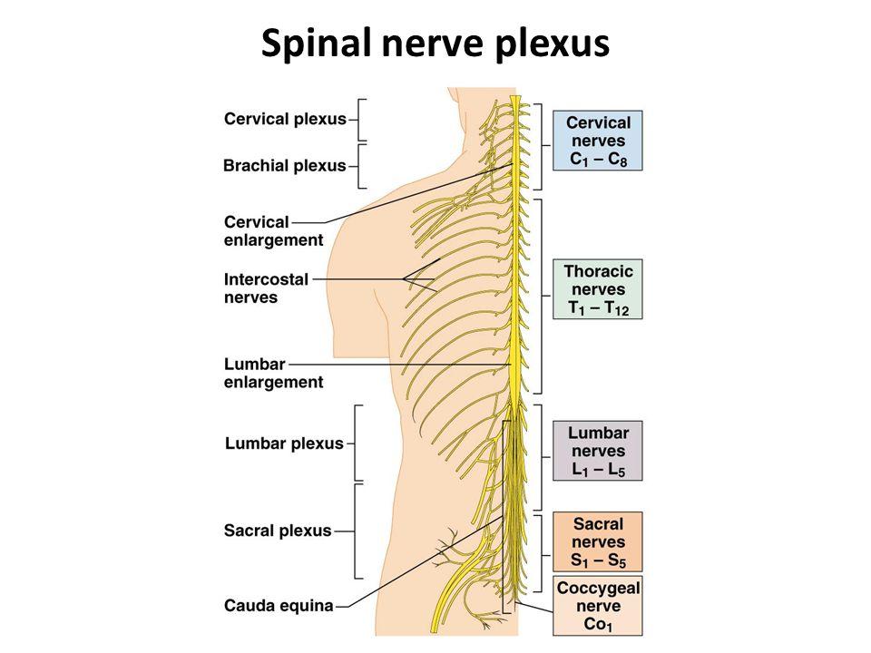 Spinal nerve plexus