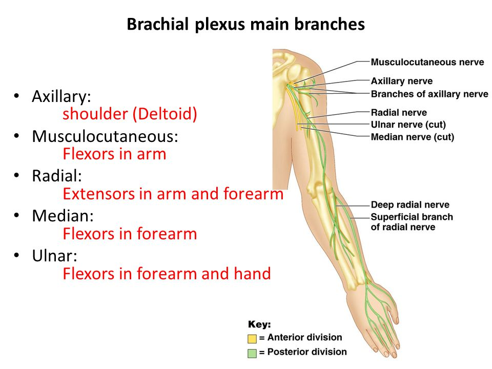 Brachial plexus main branches Axillary: shoulder (Deltoid) Musculocutaneous: Flexors in arm Radial: Extensors in arm and forearm Median: Flexors in forearm Ulnar: Flexors in forearm and hand