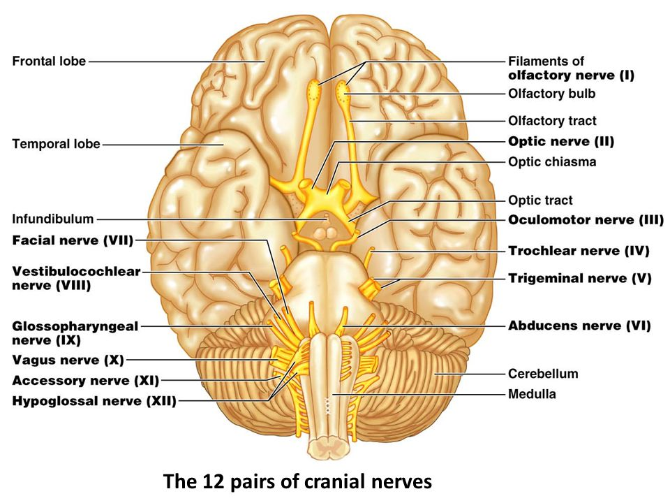 The 12 pairs of cranial nerves