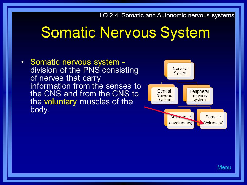 Somatic Nervous System Somatic nervous system - division of the PNS consisting of nerves that carry information from the senses to the CNS and from the CNS to the voluntary muscles of the body.
