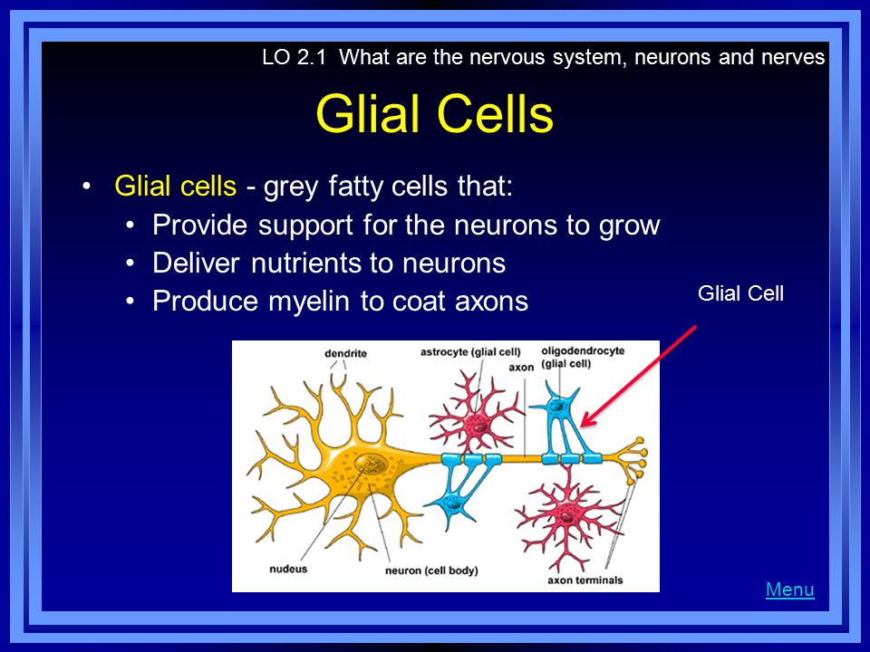 Glial Cells Glial cells - grey fatty cells that: Provide support for the neurons to grow Deliver nutrients to neurons Produce myelin to coat axons LO 2.1 What are the nervous system, neurons and nerves Menu Glial Cell