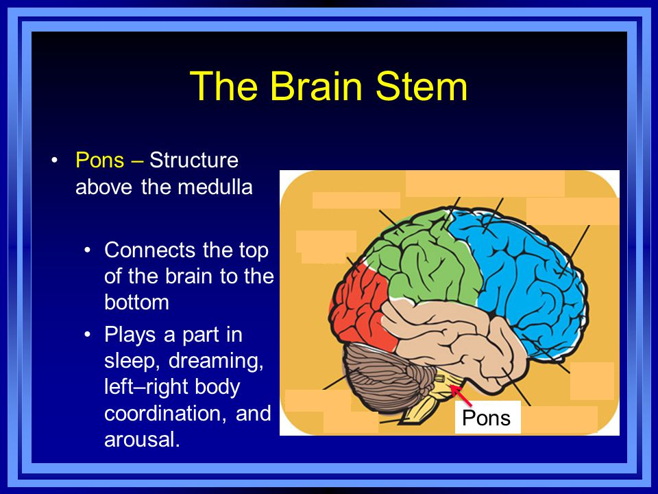 The Brain Stem Pons – Structure above the medulla Connects the top of the brain to the bottom Plays a part in sleep, dreaming, left–right body coordination, and arousal.