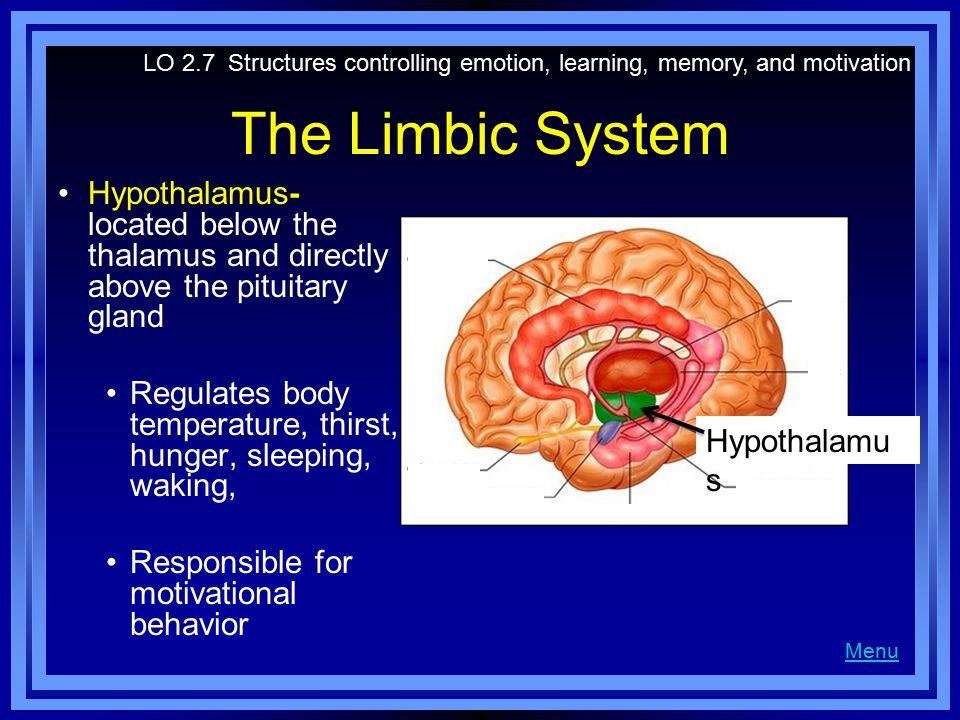 The Limbic System Hypothalamus- located below the thalamus and directly above the pituitary gland Regulates body temperature, thirst, hunger, sleeping, waking, Responsible for motivational behavior LO 2.7 Structures controlling emotion, learning, memory, and motivation Menu Hypothalamu s