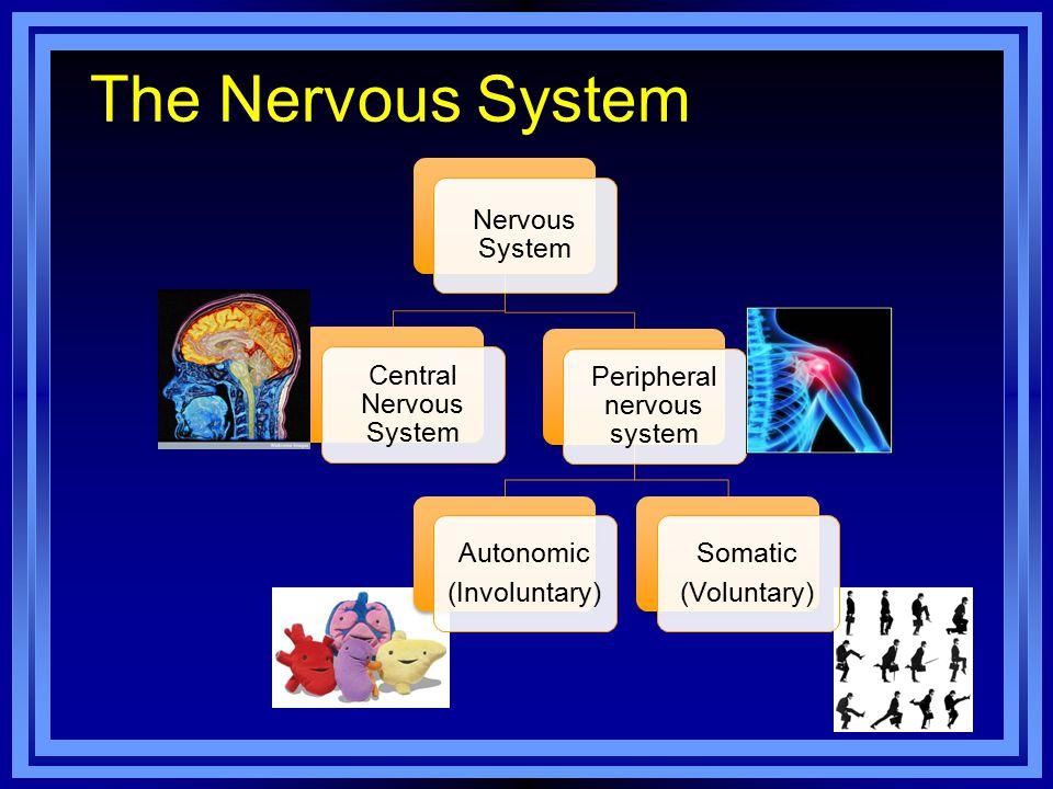 The Nervous System Nervous System Central Nervous System Peripheral nervous system Autonomic (Involuntary) Somatic (Voluntary)