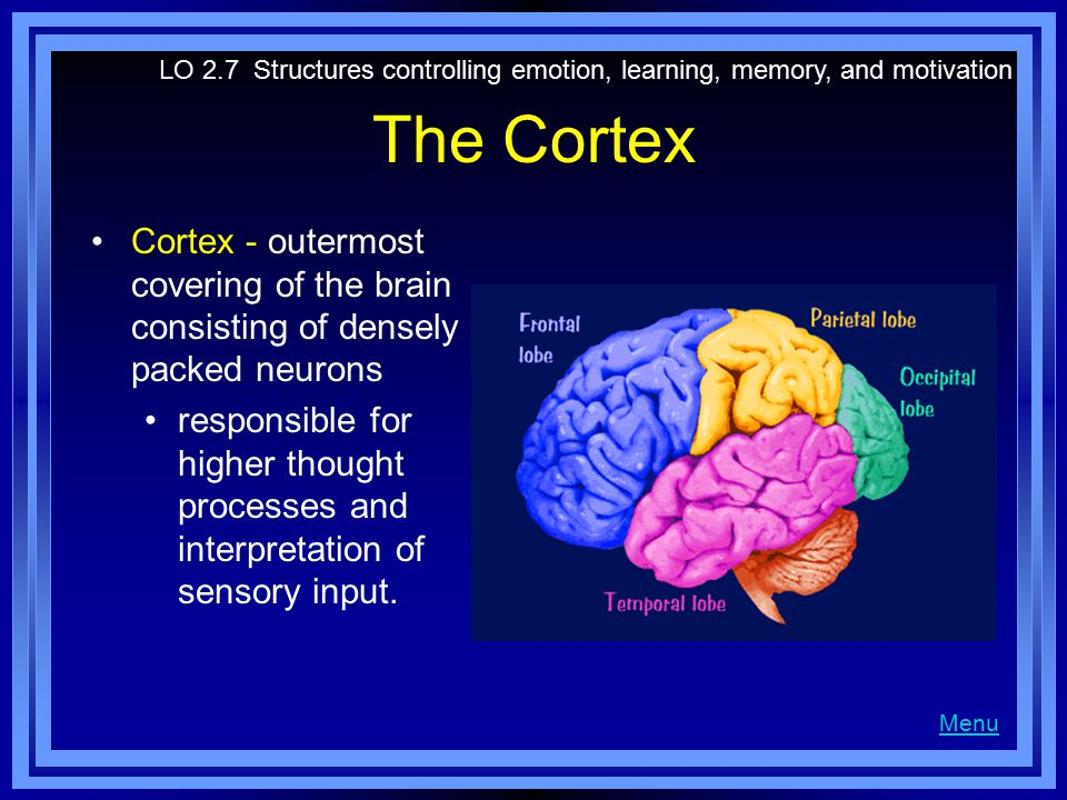 The Cortex Cortex - outermost covering of the brain consisting of densely packed neurons responsible for higher thought processes and interpretation of sensory input.