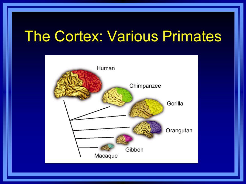 The Cortex: Various Primates