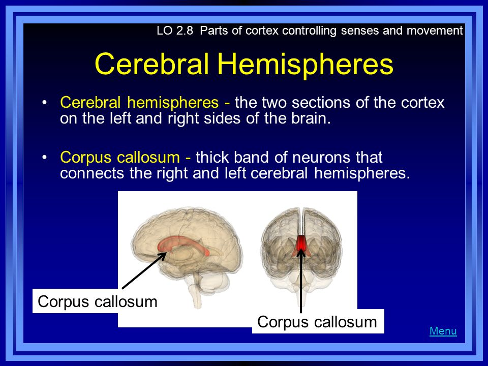 Cerebral Hemispheres Cerebral hemispheres - the two sections of the cortex on the left and right sides of the brain.