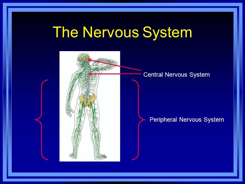 The Nervous System Peripheral Nervous System Central Nervous System