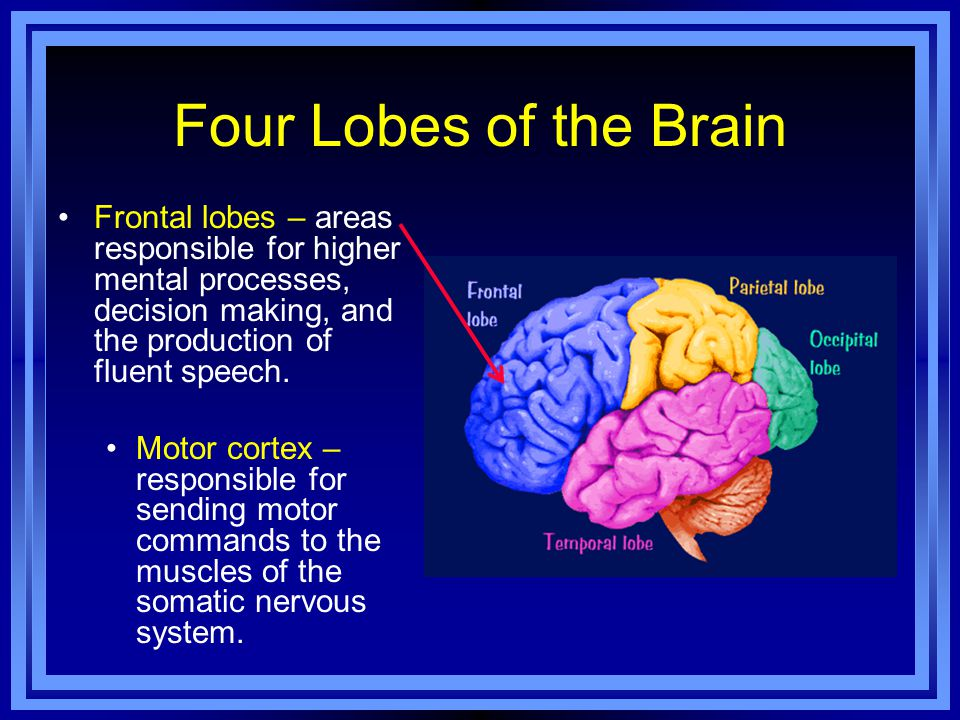 Four Lobes of the Brain Frontal lobes – areas responsible for higher mental processes, decision making, and the production of fluent speech.