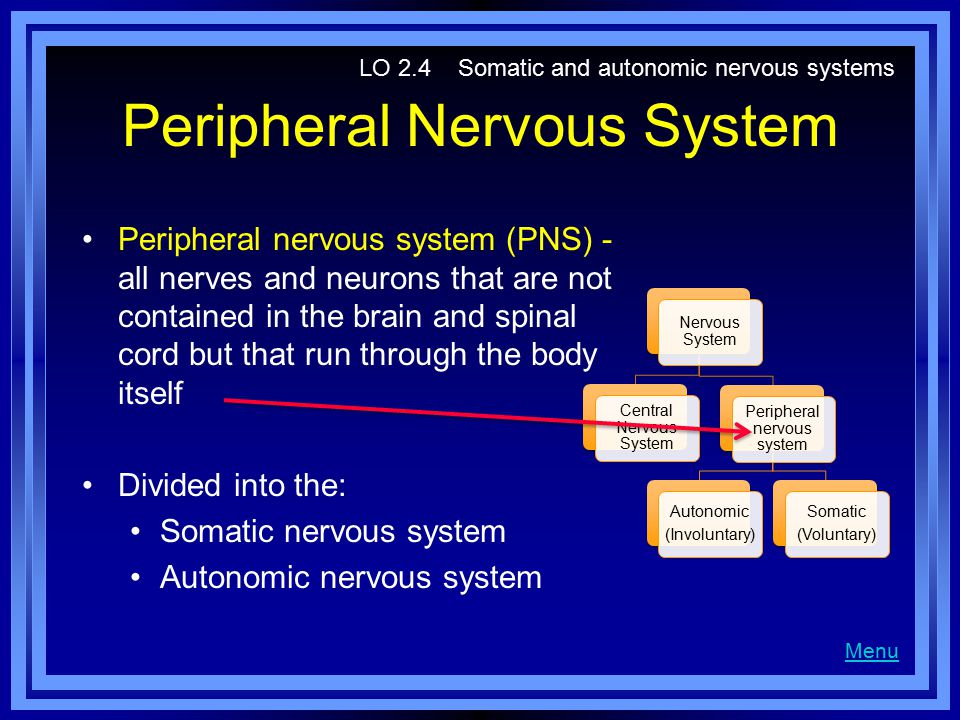 Peripheral Nervous System Peripheral nervous system (PNS) - all nerves and neurons that are not contained in the brain and spinal cord but that run through the body itself Divided into the: Somatic nervous system Autonomic nervous system Menu LO 2.4 Somatic and autonomic nervous systems Nervous System Central Nervous System Peripheral nervous system Autonomic (Involuntary) Somatic (Voluntary)