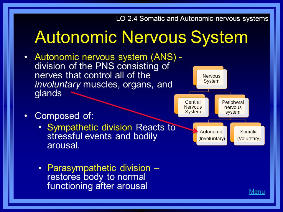 Autonomic Nervous System Autonomic nervous system (ANS) - division of the PNS consisting of nerves that control all of the involuntary muscles, organs, and glands Composed of: Sympathetic division Reacts to stressful events and bodily arousal.