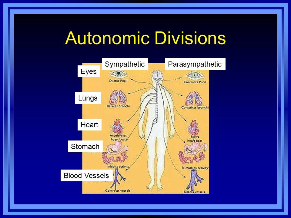 Autonomic Divisions Eyes Lungs Heart Stomach Blood Vessels SympatheticParasympathetic