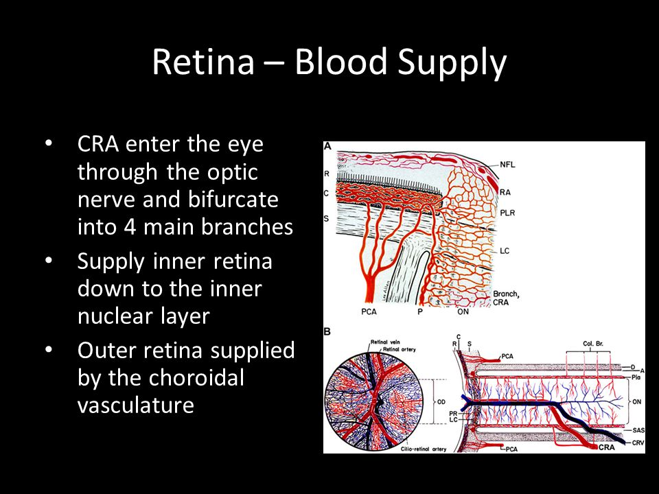 Retina – Blood Supply CRA enter the eye through the optic nerve and bifurcate into 4 main branches Supply inner retina down to the inner nuclear layer