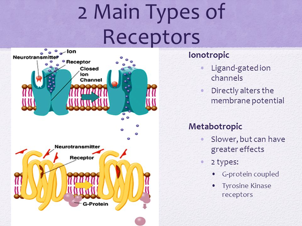 2 Main Types of Receptors Ionotropic Ligand-gated ion channels Directly alters the membrane potential Metabotropic Slower, but can have greater effect