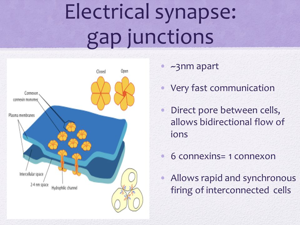 Electrical synapse: gap junctions ~3nm apart Very fast communication Direct pore between cells, allows bidirectional flow of ions 6 connexins= 1 conne