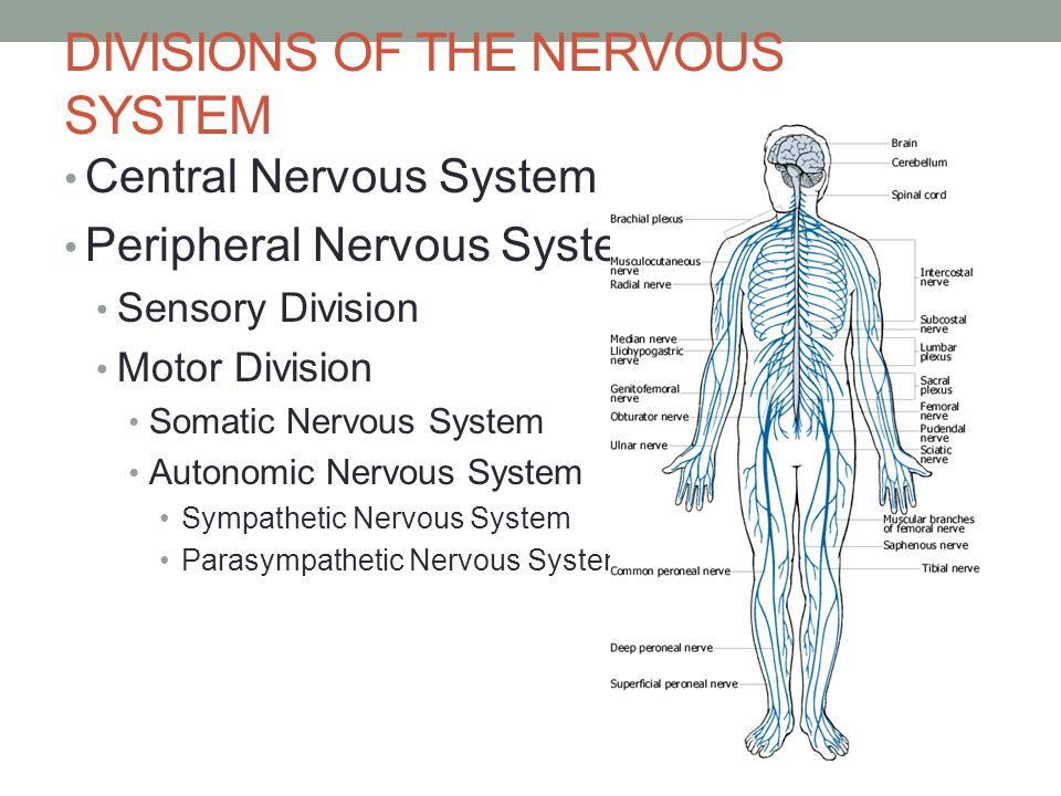 DIVISIONS OF THE NERVOUS SYSTEM Central Nervous System Peripheral Nervous System Sensory Division Motor Division Somatic Nervous System Autonomic Nervous System Sympathetic Nervous System Parasympathetic Nervous System