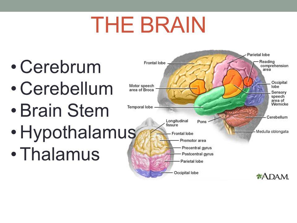 THE BRAIN Cerebrum Cerebellum Brain Stem Hypothalamus Thalamus