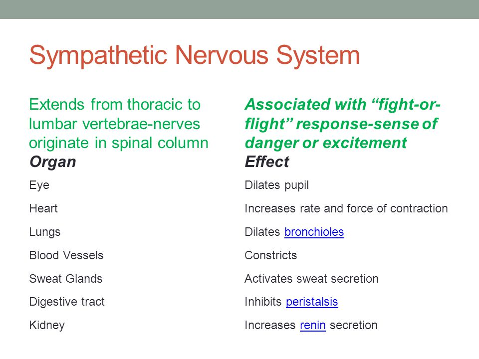 Sympathetic Nervous System Extends from thoracic to lumbar vertebrae-nerves originate in spinal column Organ Associated with fight-or- flight response-sense of danger or excitement Effect EyeDilates pupil HeartIncreases rate and force of contraction LungsDilates bronchiolesbronchioles Blood VesselsConstricts Sweat GlandsActivates sweat secretion Digestive tractInhibits peristalsisperistalsis KidneyIncreases renin secretionrenin