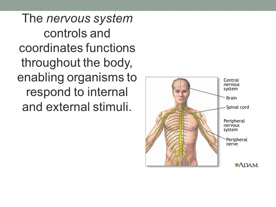 The nervous system controls and coordinates functions throughout the body, enabling organisms to respond to internal and external stimuli.