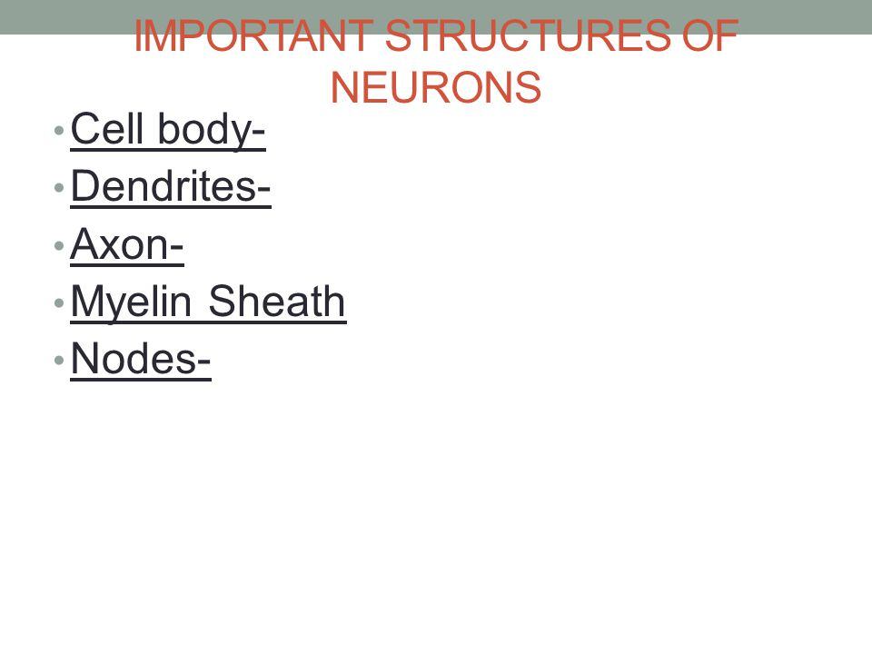 IMPORTANT STRUCTURES OF NEURONS Cell body- Dendrites- Axon- Myelin Sheath Nodes-
