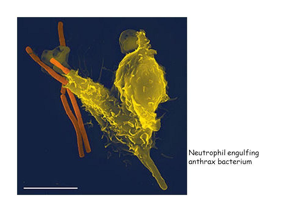 Neutrophil engulfing anthrax bacterium