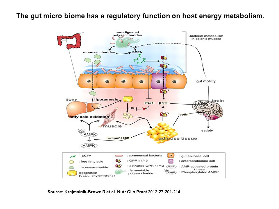 The gut micro biome has a regulatory function on host energy metabolism.