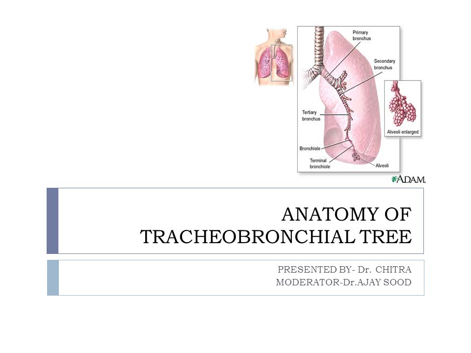 ANATOMY OF TRACHEOBRONCHIAL TREE PRESENTED BY- Dr. CHITRA MODERATOR-Dr.AJAY SOOD