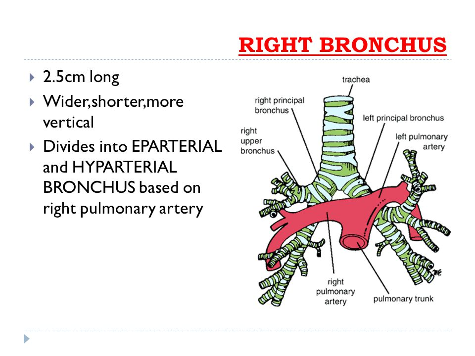 RIGHT BRONCHUS  2.5cm long  Wider,shorter,more vertical  Divides into EPARTERIAL and HYPARTERIAL BRONCHUS based on right pulmonary artery