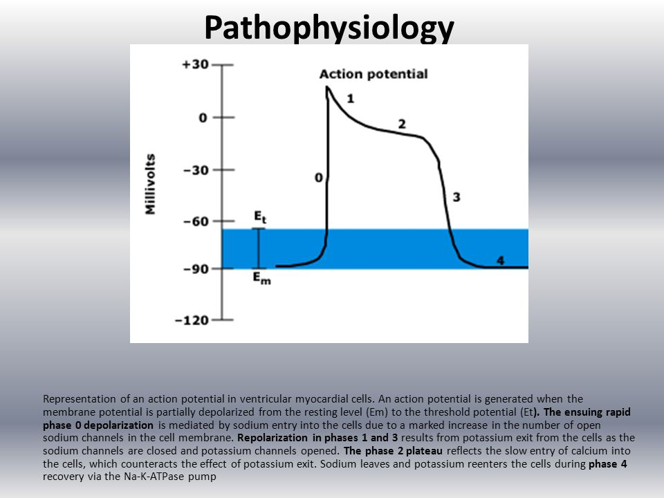 Pathophysiology Representation of an action potential in ventricular myocardial cells.