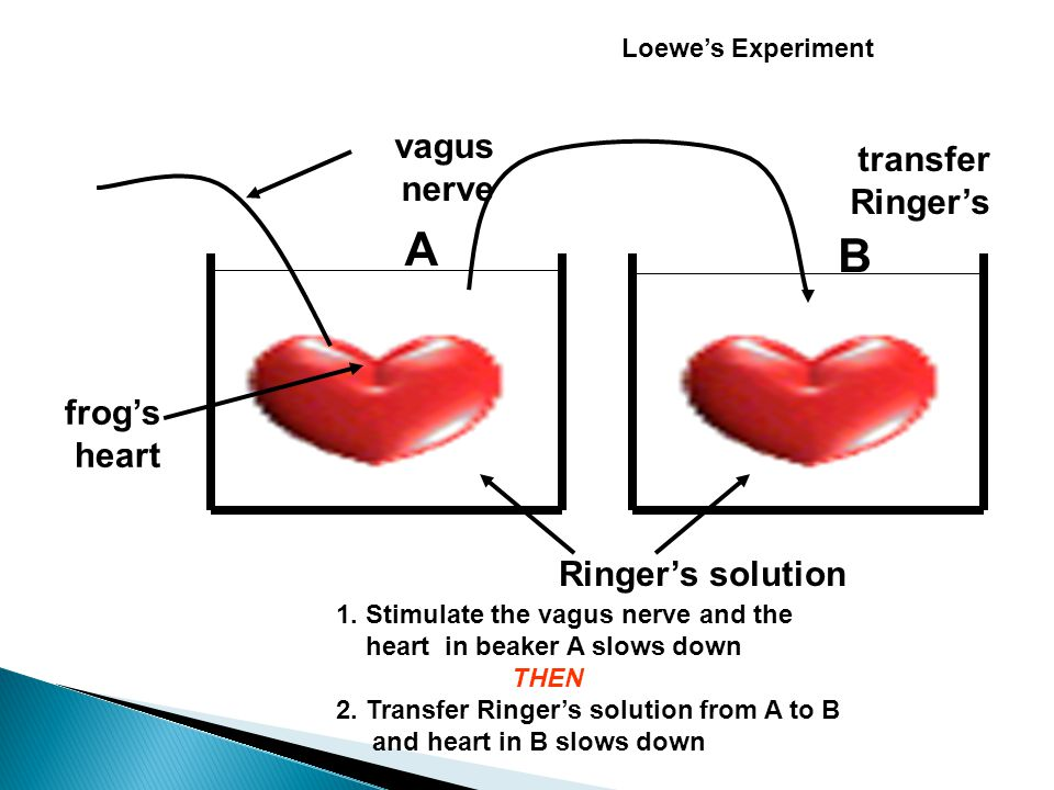vagus nerve Ringer's solution frog's heart Loewe's Experiment 1.