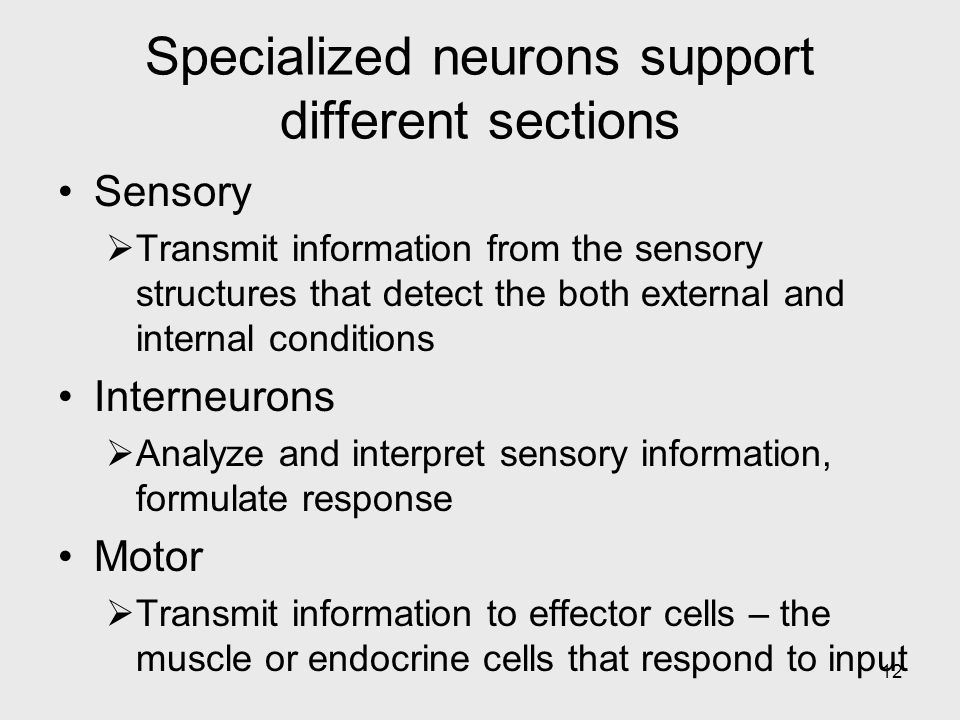 12 Specialized neurons support different sections Sensory  Transmit information from the sensory structures that detect the both external and internal conditions Interneurons  Analyze and interpret sensory information, formulate response Motor  Transmit information to effector cells – the muscle or endocrine cells that respond to input