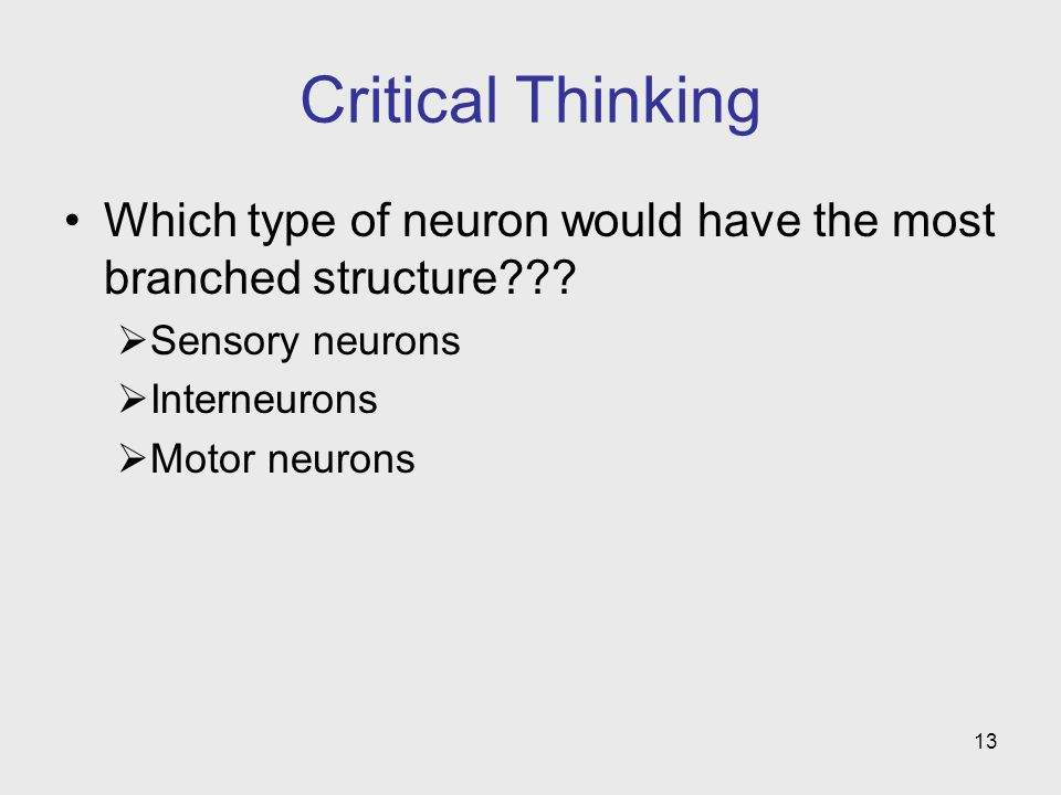 13 Critical Thinking Which type of neuron would have the most branched structure???  Sensory neurons  Interneurons  Motor neurons
