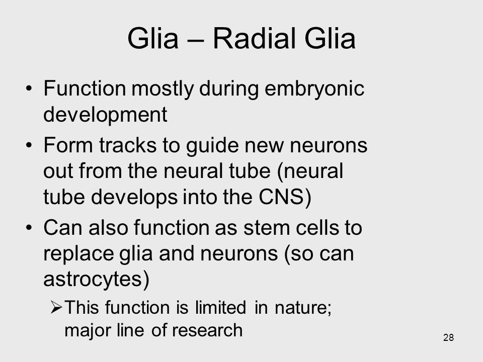 28 Glia – Radial Glia Function mostly during embryonic development Form tracks to guide new neurons out from the neural tube (neural tube develops into the CNS) Can also function as stem cells to replace glia and neurons (so can astrocytes)  This function is limited in nature; major line of research