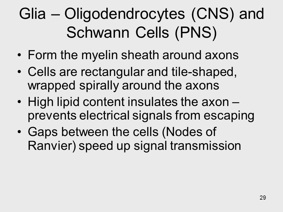 29 Glia – Oligodendrocytes (CNS) and Schwann Cells (PNS) Form the myelin sheath around axons Cells are rectangular and tile-shaped, wrapped spirally around the axons High lipid content insulates the axon – prevents electrical signals from escaping Gaps between the cells (Nodes of Ranvier) speed up signal transmission