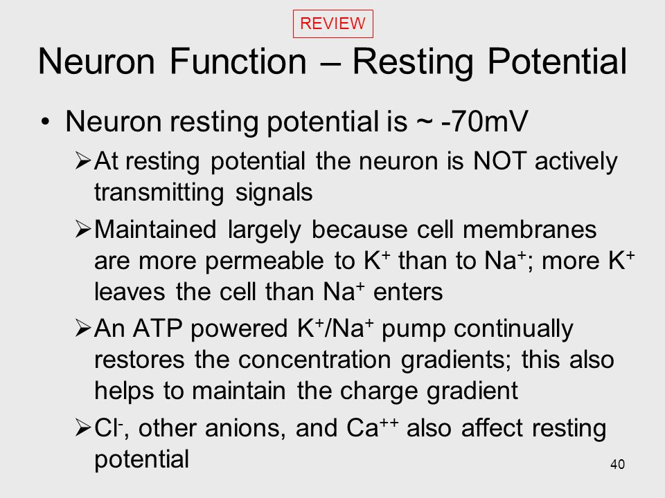 40 Neuron Function – Resting Potential Neuron resting potential is ~ -70mV  At resting potential the neuron is NOT actively transmitting signals  Maintained largely because cell membranes are more permeable to K + than to Na + ; more K + leaves the cell than Na + enters  An ATP powered K + /Na + pump continually restores the concentration gradients; this also helps to maintain the charge gradient  Cl -, other anions, and Ca ++ also affect resting potential REVIEW