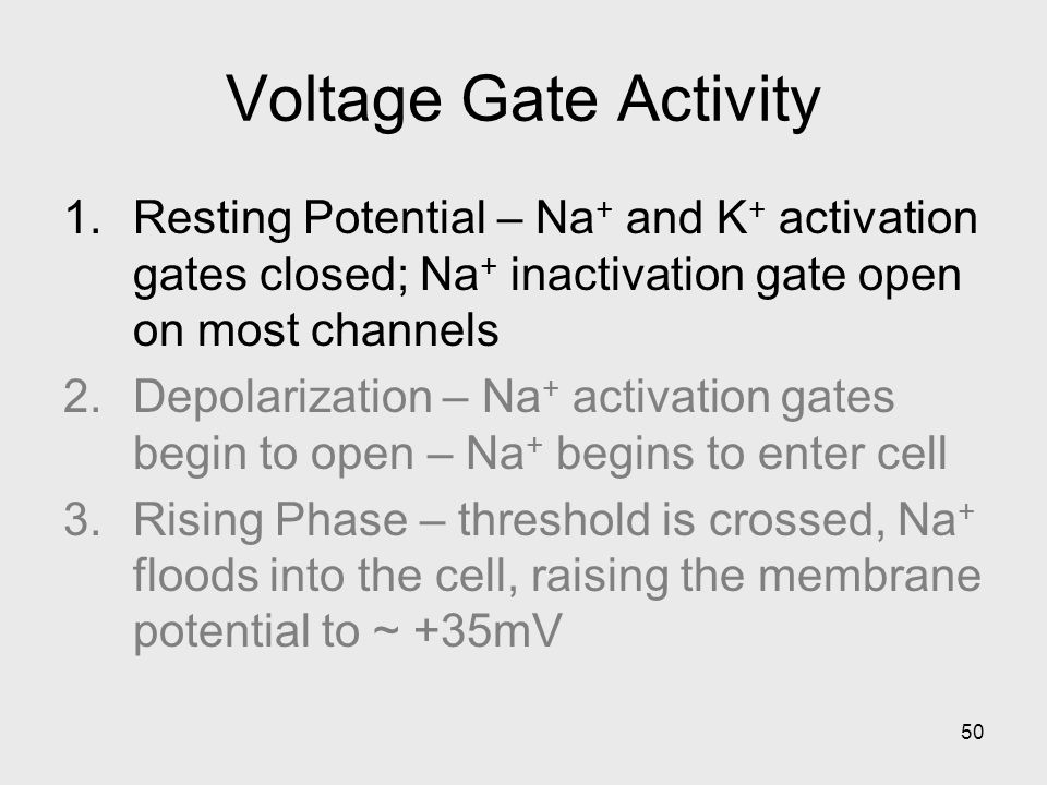 50 Voltage Gate Activity 1.Resting Potential – Na + and K + activation gates closed; Na + inactivation gate open on most channels 2.Depolarization – Na + activation gates begin to open – Na + begins to enter cell 3.Rising Phase – threshold is crossed, Na + floods into the cell, raising the membrane potential to ~ +35mV