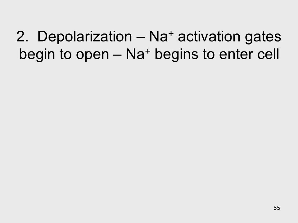 55 2. Depolarization – Na + activation gates begin to open – Na + begins to enter cell