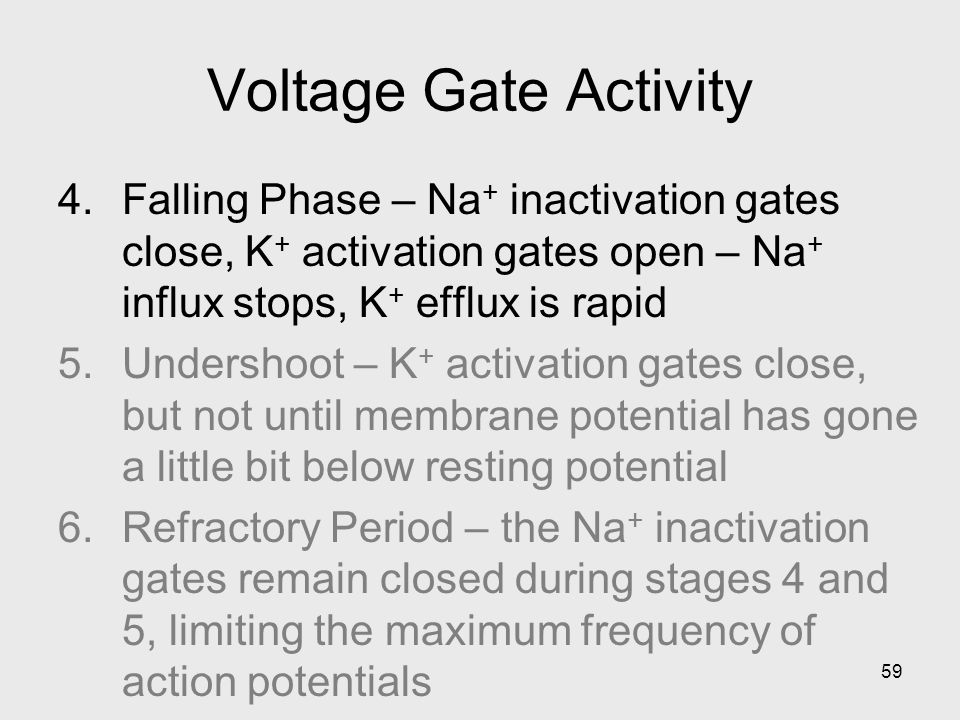 59 Voltage Gate Activity 4.Falling Phase – Na + inactivation gates close, K + activation gates open – Na + influx stops, K + efflux is rapid 5.Undershoot – K + activation gates close, but not until membrane potential has gone a little bit below resting potential 6.Refractory Period – the Na + inactivation gates remain closed during stages 4 and 5, limiting the maximum frequency of action potentials