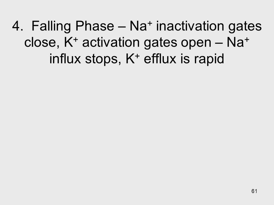 61 4. Falling Phase – Na + inactivation gates close, K + activation gates open – Na + influx stops, K + efflux is rapid