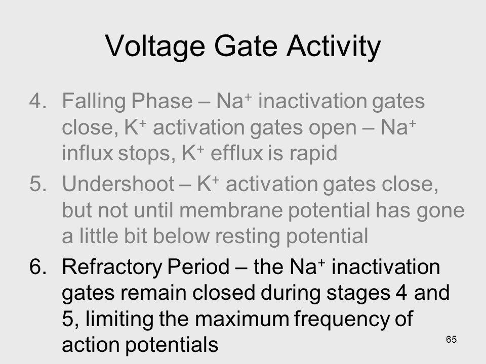 65 Voltage Gate Activity 4.Falling Phase – Na + inactivation gates close, K + activation gates open – Na + influx stops, K + efflux is rapid 5.Undersh
