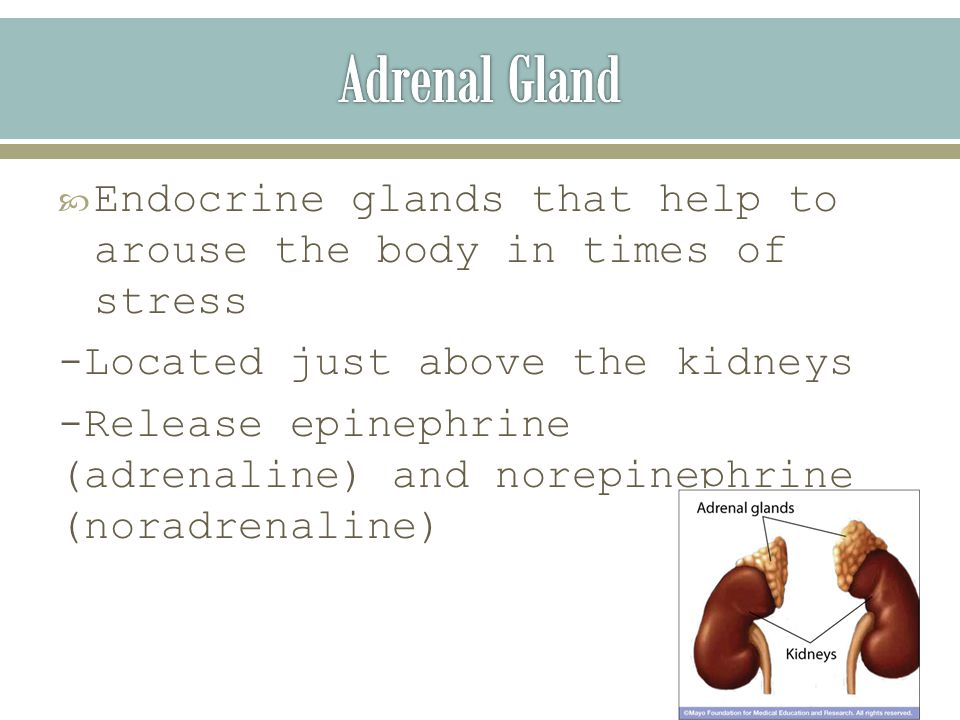  Endocrine glands that help to arouse the body in times of stress -Located just above the kidneys -Release epinephrine (adrenaline) and norepinephrine (noradrenaline)