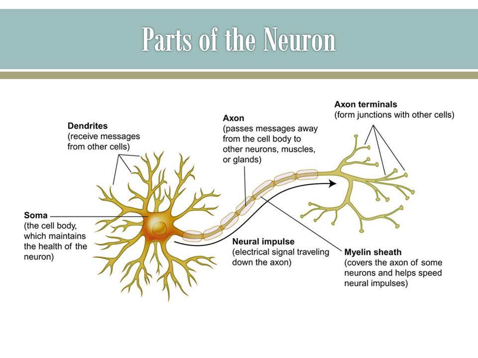  A neural impulse; a brief electrical charge that travels down the axon of a neuron -Considered an on condition of the neuron