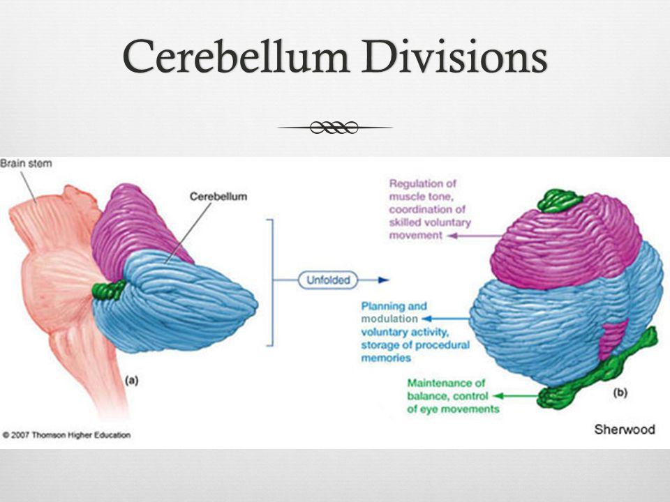 Cerebellum DivisionsCerebellum Divisions