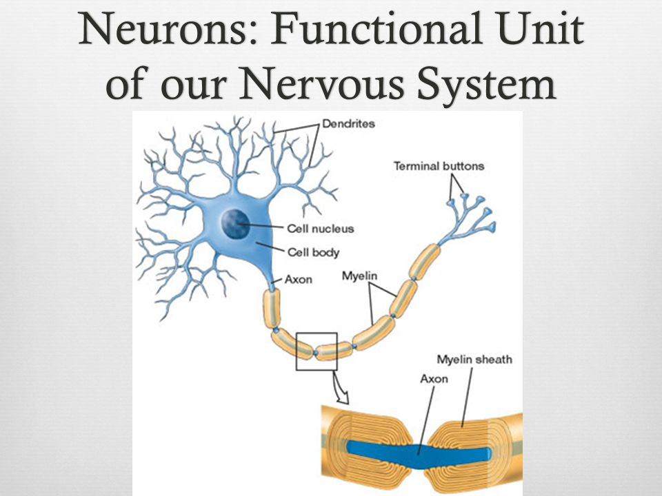 Neurons: Functional Unit of our Nervous System