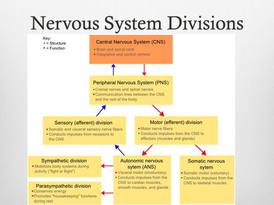 Nervous System DivisionsNervous System Divisions
